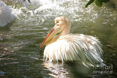 Photograph - Pelican Bath Time by Jackie Mestrom