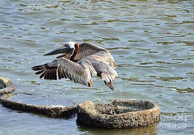 Pelican Photograph - Pelican Brown Leaps Over Barnacle Ring by Wayne Nielsen