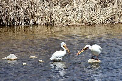 Photograph - Pelican Confrontation by Diane Alexander