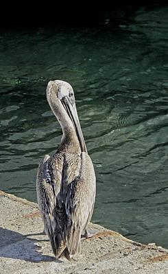 Western Art - Pelican Contemplations by Ian  MacDonald