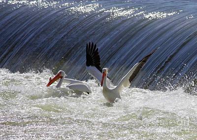 Photograph - Pelican Drama by Carol Groenen