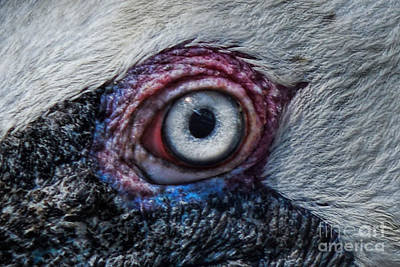 Photograph - Pelican Eye by Olga Hamilton