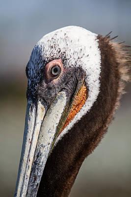 Photograph - Pelican Eyes by John Haldane