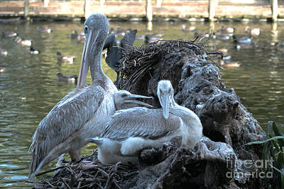 Photograph - Pelican Family by Richard J Thompson