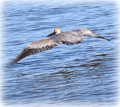 Photograph - Pelican Flight by Sheri McLeroy