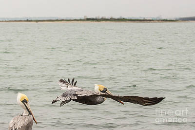 Photograph - Pelican Flight by Terry Cotton