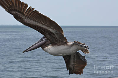 Photograph - Pelican Fly By by Carol Groenen