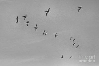 Pelican Flying Formation II Art Print