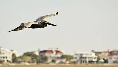 Pelican Flying Over Murrells Inlet Print by Paulette Thomas