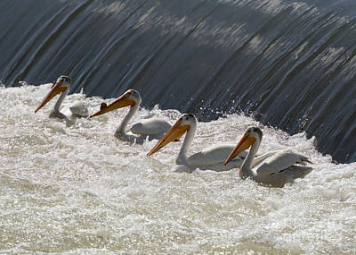 White Pelicans Photograph - Pelican Four by Mike  Dawson