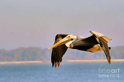 Roaring Red - Pelican gliding along by Dan Friend