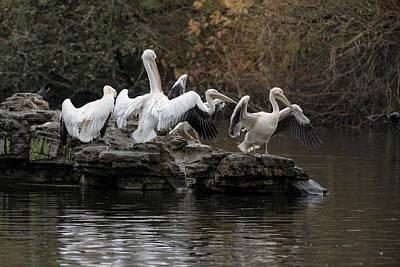 Photograph - Pelican Group by Matt Malloy