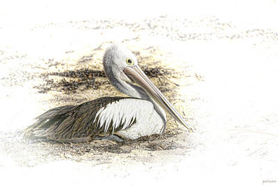 Print featuring the photograph Pelican by Holly Kempe
