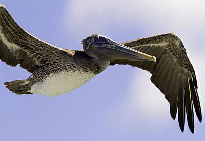 Pelican In Flight 2 Art Print by Mr Bennett Kent