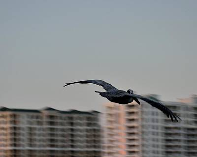 Photograph - Pelican In Flight 2 by Richard Zentner