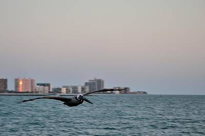 Photograph - Pelican In Flight 3 by Richard Zentner