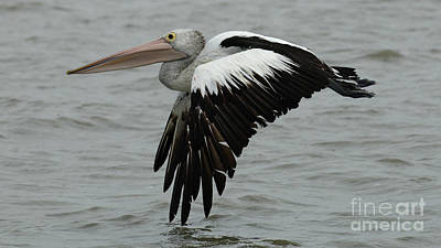 Photograph - Pelican In Flight by Bob Christopher