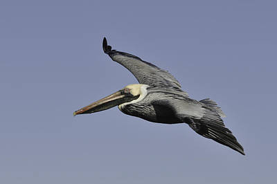 Photograph - Pelican In Flight by Bradford Martin