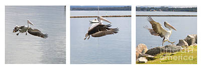 Tryptych Photograph - Pelican In Flight by Carole Lloyd