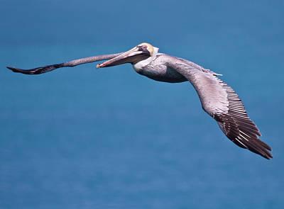 Pelican In Flight Florida Art Print