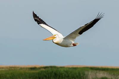 Photograph - Pelican In Flight by John Ferrante