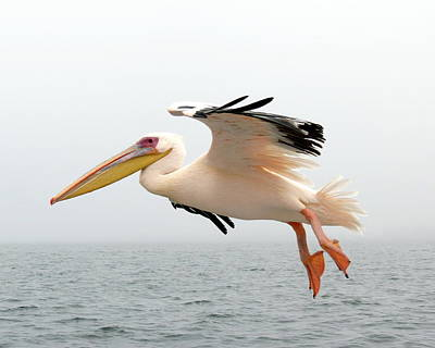 Photograph - Pelican In Flight by Ramona Johnston