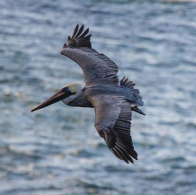 Pelican In Flight Art Print by Sonny Marcyan