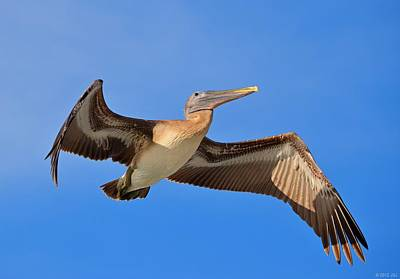 Photograph - Pelican In Flight With Shadows by Jeff at JSJ Photography