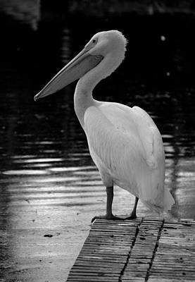 Photograph - Pelican In The Dark by Laurie Perry