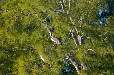 Photograph - Pelican In The Trees by Denise Mazzocco