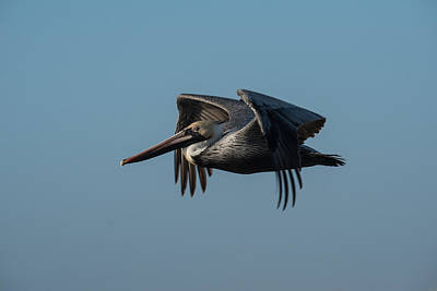 Photograph - Pelican Into The Sun 1 by Michael Gooch