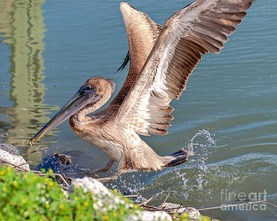 Photograph - Pelican Jump by Mike Covington