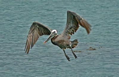 Photograph - Pelican Landing  by Gracia  Molloy
