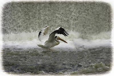 Lone Pelican Photograph - Pelican Landing In Color by Thomas Young