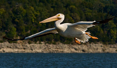 Photograph - Pelican by Linda Shannon Morgan