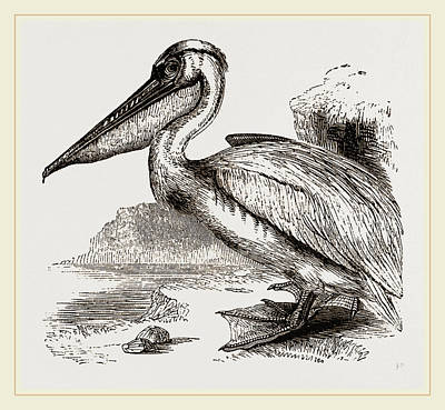 Pelican Drawing - Pelican by Litz Collection