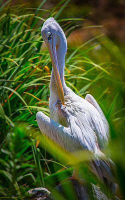 Photograph - Pelican by Matthew Onheiber