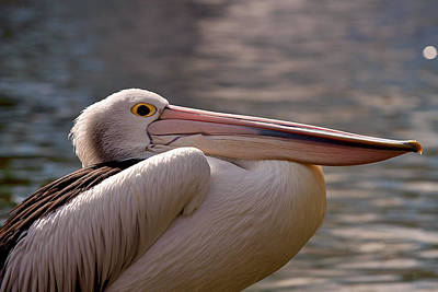 Photograph - Pelican by Michelle Wrighton