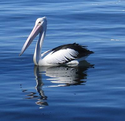Photograph - Pelican by Nancy Pauling
