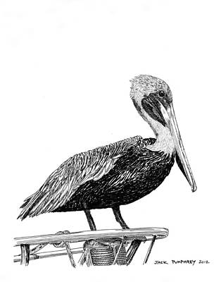 Pelican Drawing - Pelican Of Monterey by Jack Pumphrey