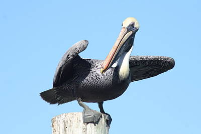 Photograph - Pelican On A Perch by Stephanie  Kriza