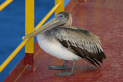 Photograph - Pelican On A Ship Deck by Bradford Martin