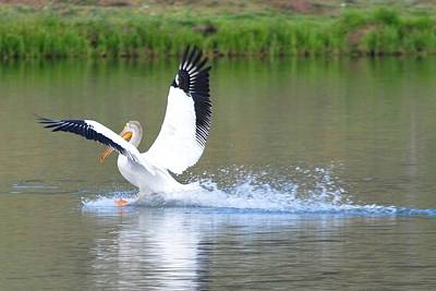 Photograph - Pelican On Mountain Lake by Marilyn Burton