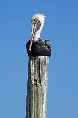 Photograph - Pelican On Post by Willard Killough III