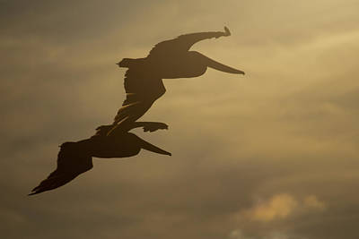 Photograph - Pelican Pair by Erin Kohlenberg