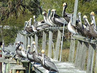 Photograph - Pelican Party by Audrey Peaty