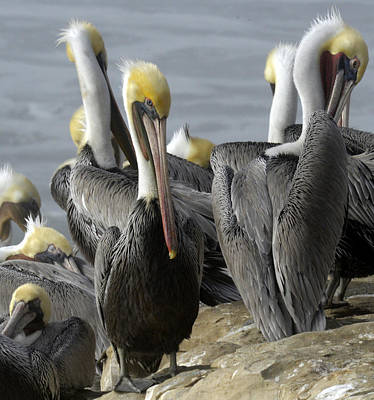 Photograph - Pelican by Patricia Dennis