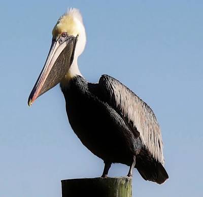 Pelican  Art Print by Paulette Thomas