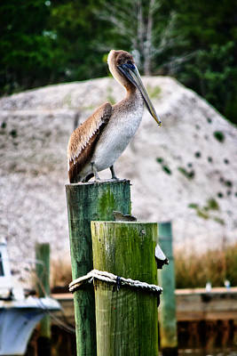 Photograph - Pelican Perch by George Taylor