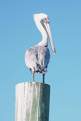 Perch Digital Art - Pelican Perched I by Kathy Mansfield